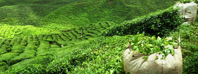 India's tea exports projected to grow 15% in next five years