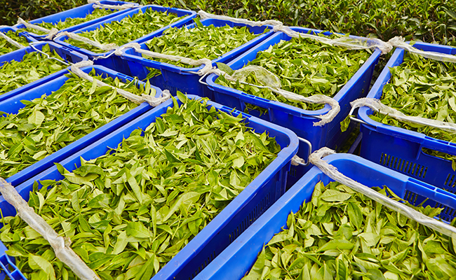 'Rising production cost hampering India's tea exports'