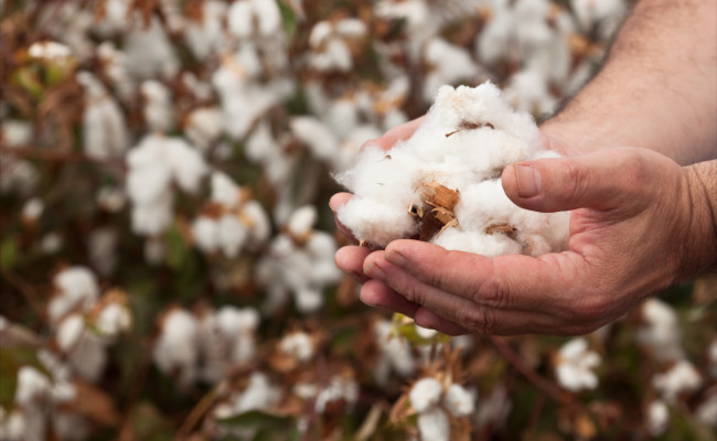 cotton export Cotton exports from india, the world's biggest producer and seller, are expected to fall 41 per cent to a five-year low of 7 million bales this crop year ending september as top buyer china curbs purchases, a government official said.