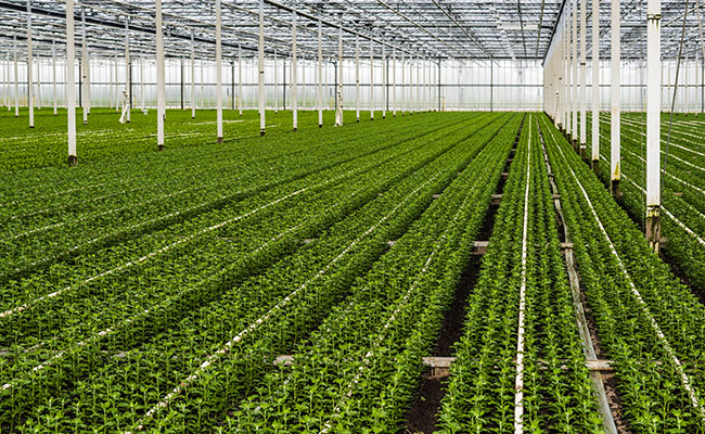 Focusing on horticulture to reduce tobacco cultivation: Govt