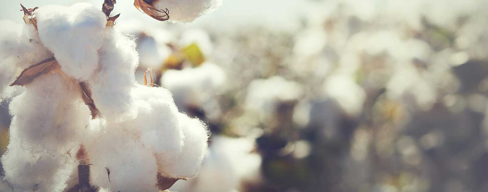 WTO removes subsidies helps Indian cotton farmers