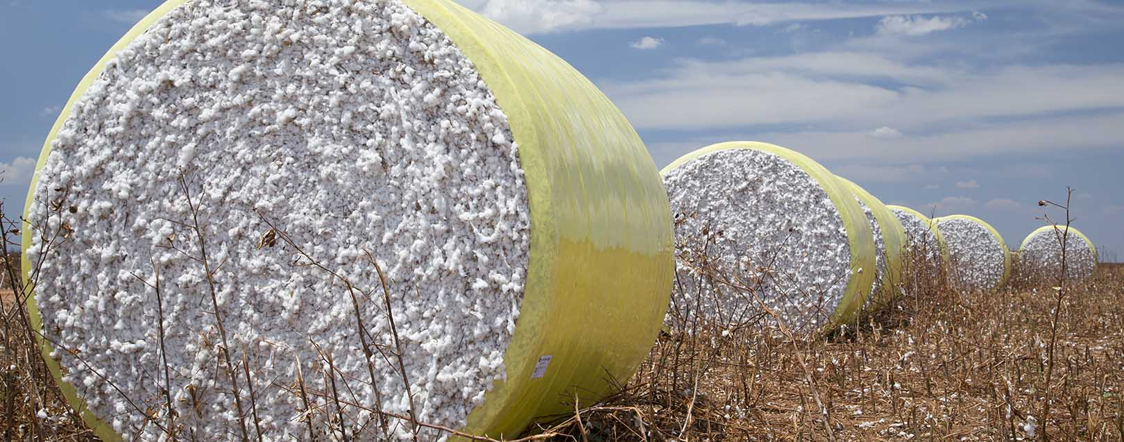 India's cotton prodn to be lower in 2015-16: CAI