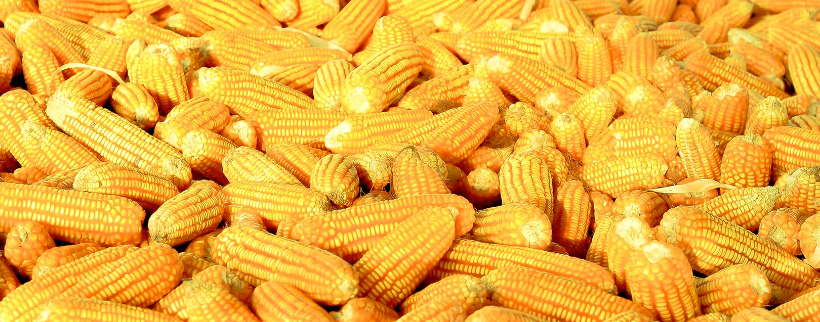 Maize productivity up 4.8 times: Radha Mohan Singh