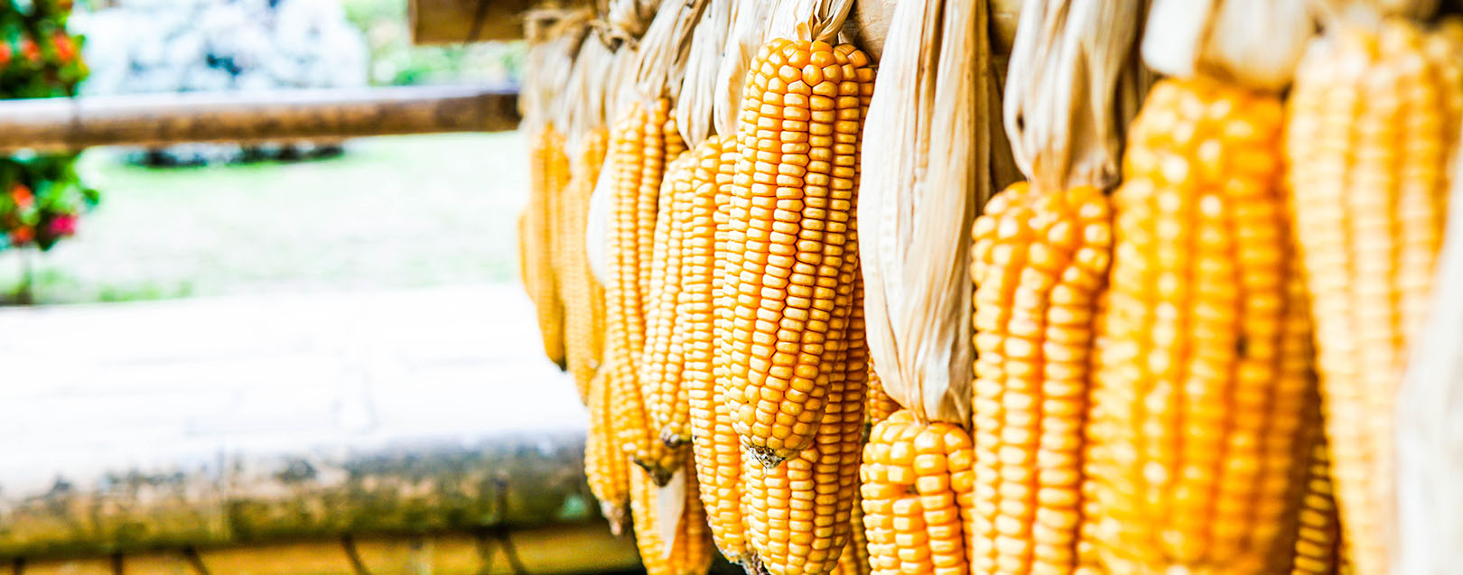 Indian traders float tenders to import 330,000 tonnes corn