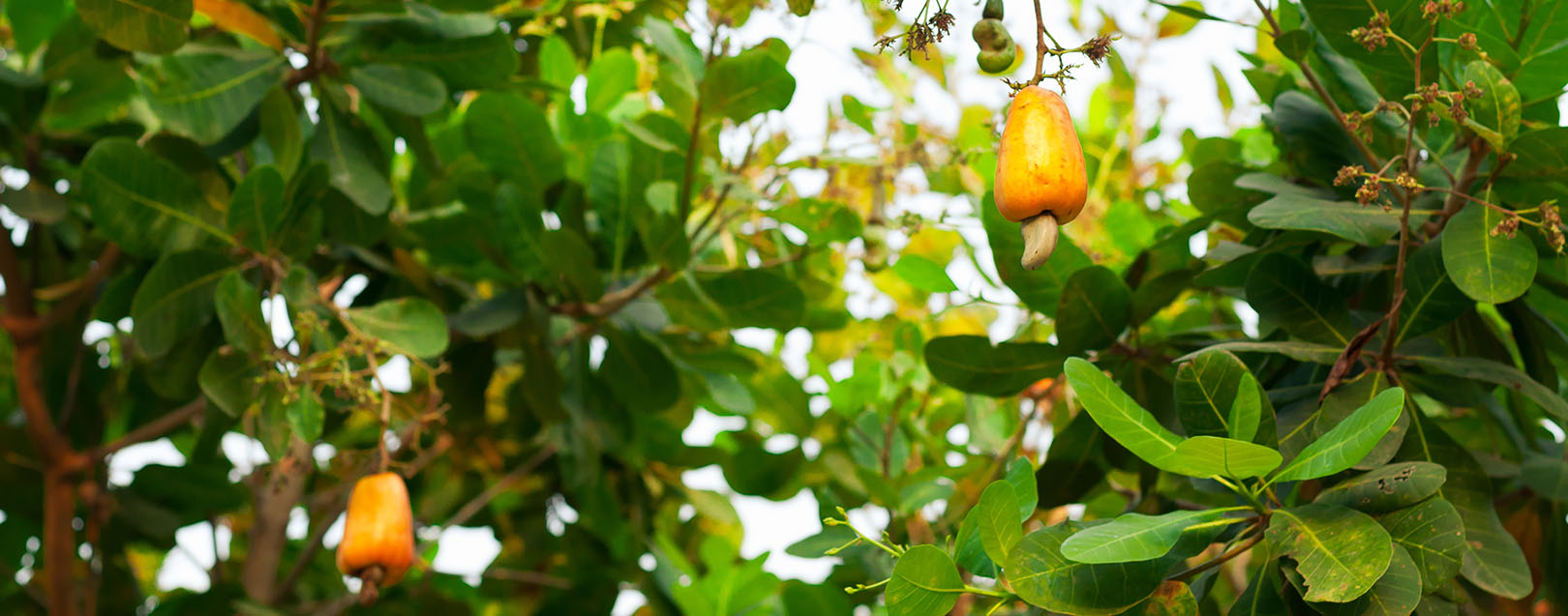 Margin pressure confines Palasa cashew exporters to domestic market