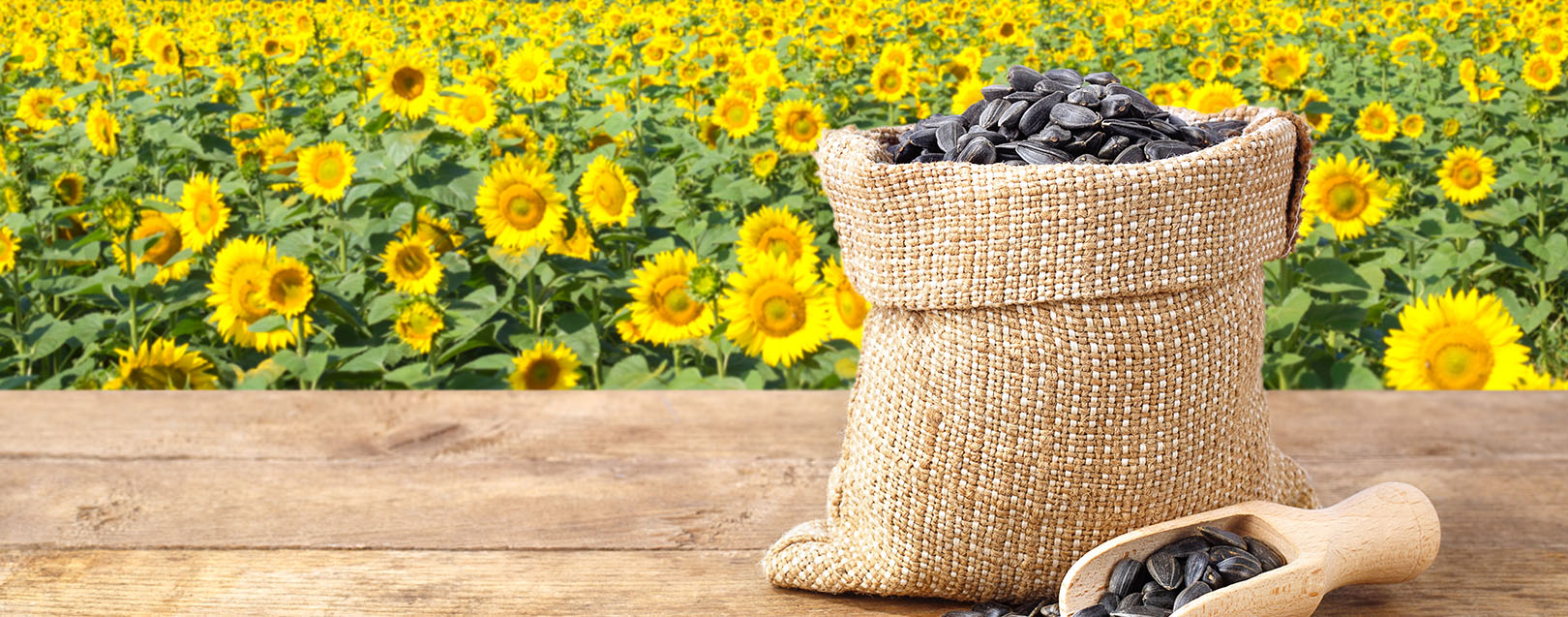 Govt cuts import duty on sunflower seeds to 10%