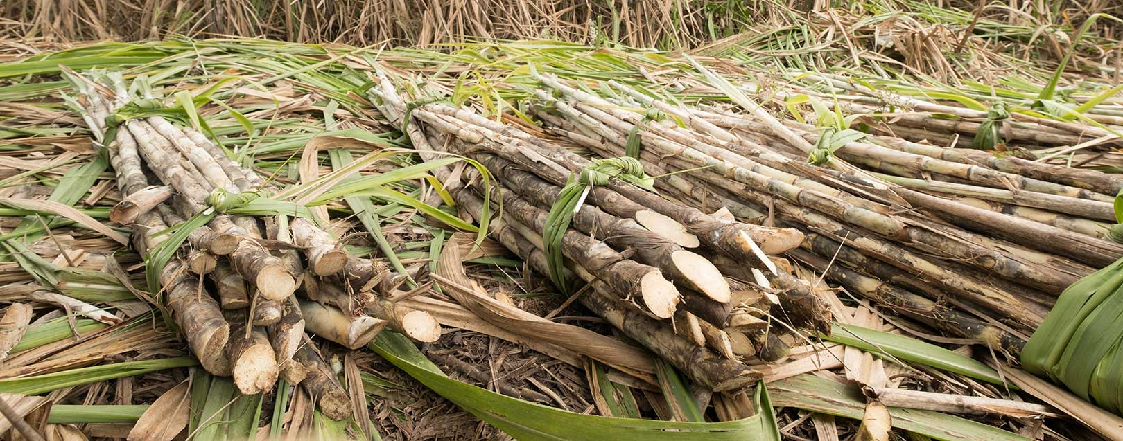 Govt increases sugarcane's fair price by Rs. 25/quintal to Rs. 255