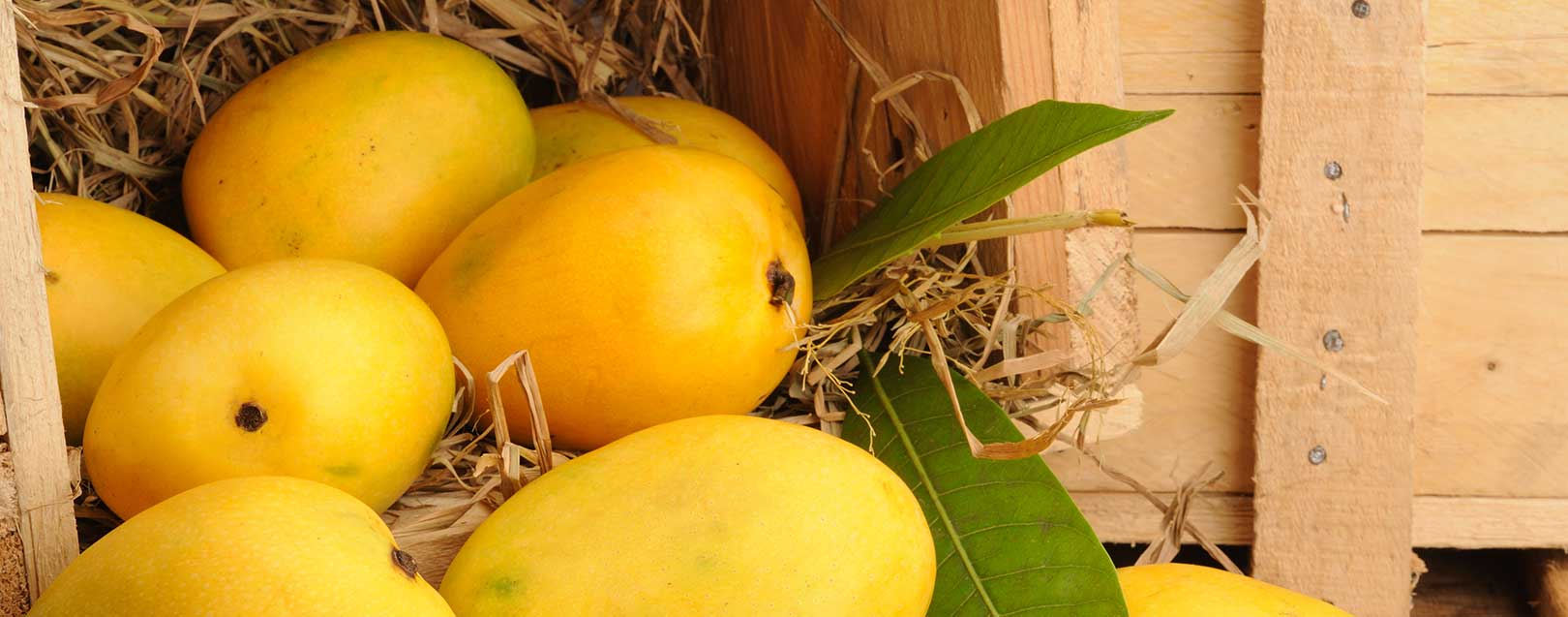 Mango exports to be down this year as production drop by 70% in UP
